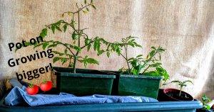 Potting tomato seedlings into bigger pots