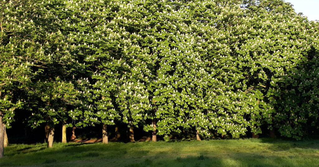 Horse Chestnut Trees in Flower