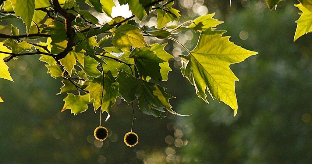Plane leaves & seeds in soft light
